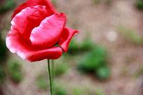 一朵红色的花