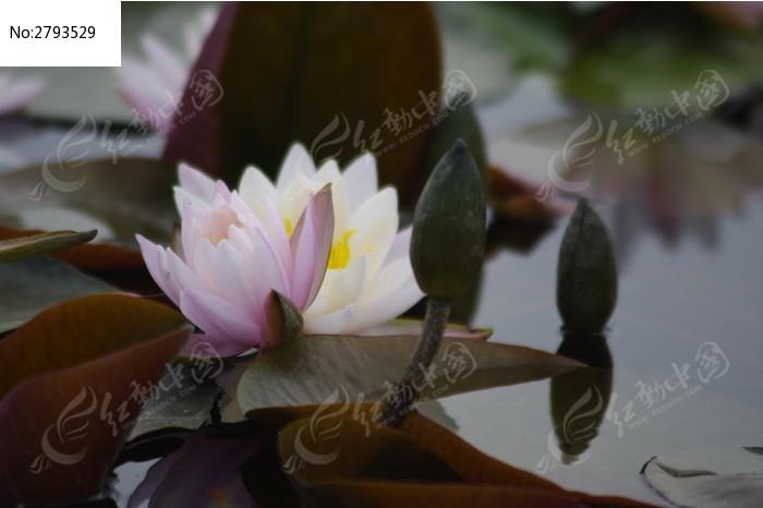 一朵美丽的莲花图片