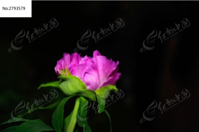 一朵牡丹花图片,高清大图