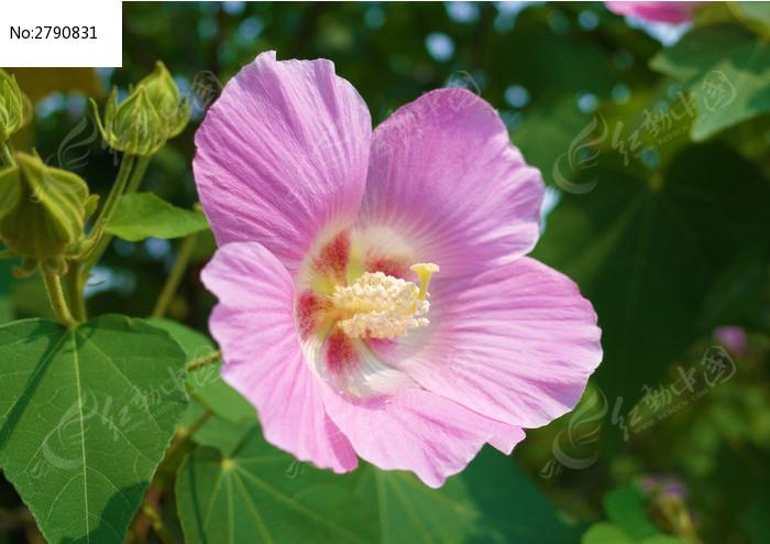 一朵漂亮芙蓉花的特写图片