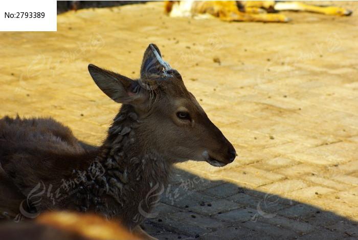 阴影里的梅花鹿图片,高清大图_陆地动物素材