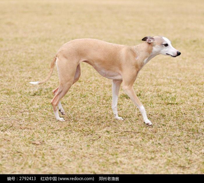 一只黄色的惠比特犬图片高清图片