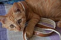 一只趴着的小黄猫