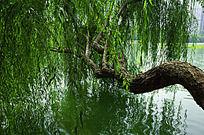 垂柳印水中