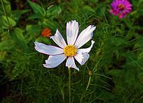 阳光下的白色波斯菊