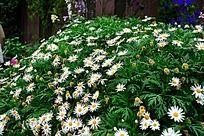 一片白色的小菊花