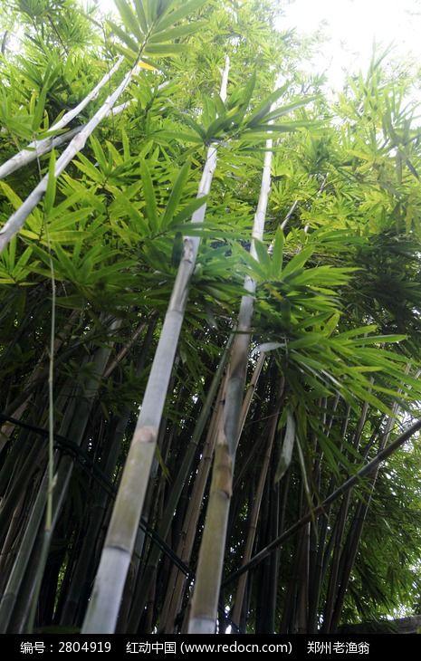 笔直高大的竹子图片,高清大图_树木枝叶素材