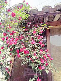 窗前的蔷薇花