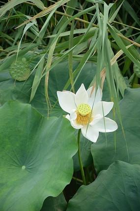 纯洁的白色莲花金色的莲蓬