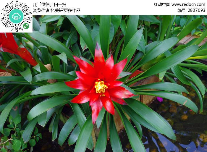 俯拍凤梨花 绿叶 美图拍摄 拍摄图片 花卉 鲜花 花朵