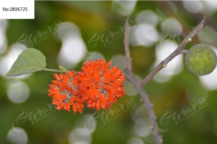原创摄影图 动物植物 花卉花草 红花 绿果  请您分享: 素材描述:红动