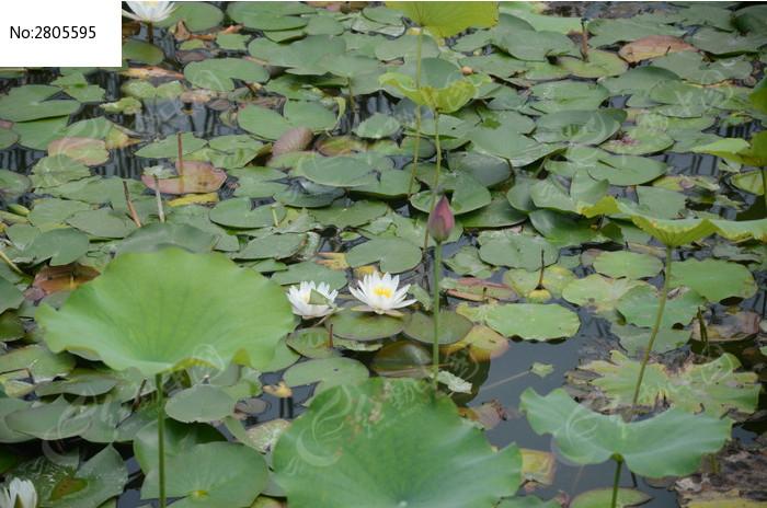 两朵飘在水面的白莲花