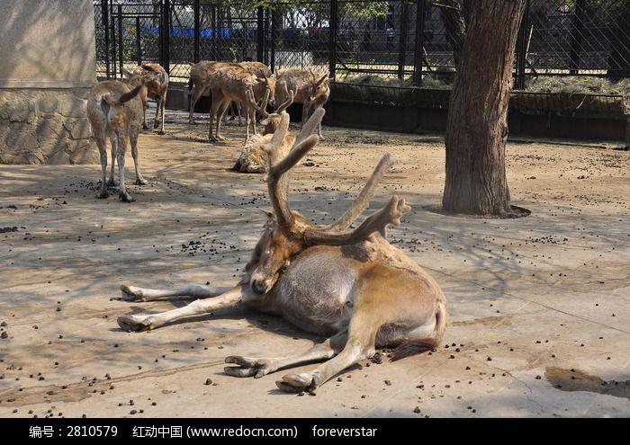 麋鹿图片,高清大图_陆地动物素材