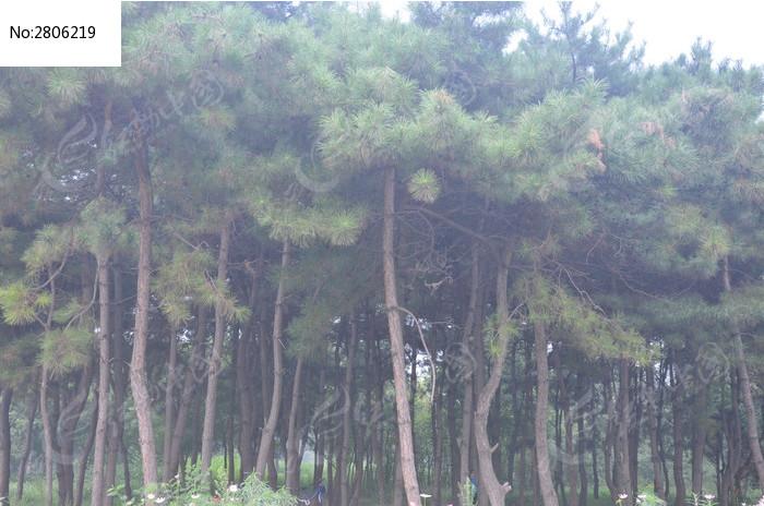 绿色的树林松树图片,高清大图_树木枝叶素材