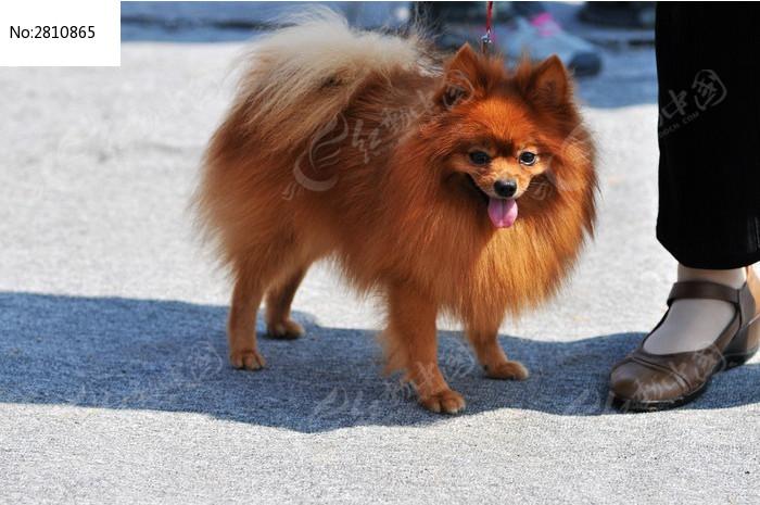 漂亮的狐狸犬