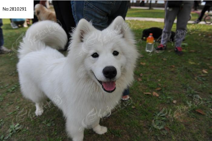 原创摄影图 动物植物 陆地动物 萨摩耶犬  请您分享: 红动网提供陆地