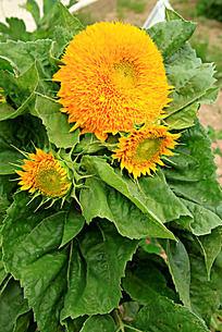 盛开的向日葵花朵