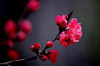 桃花朵朵开 争艳俏枝头