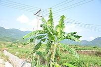 田间的香蕉树