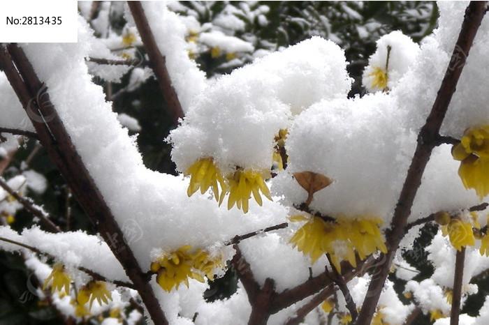 雪中的梅花图片素材下载(编号:2813435)