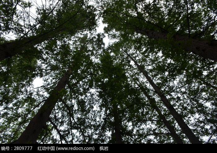 原创摄影图 动物植物 树木枝叶 仰拍水杉树枝叶  请您分享: 红动网