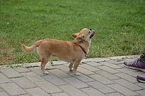 仰着头望着主人的黄色小狗