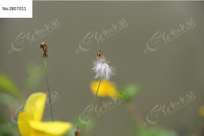 一朵盛开的蒲公英花朵图片