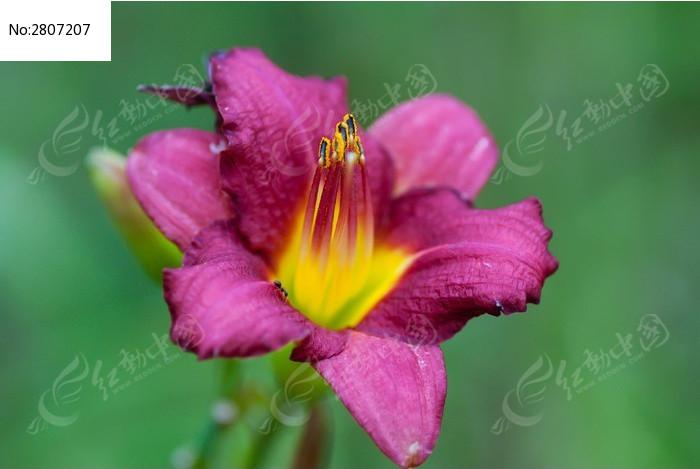 一只蚂蚁爬到了鲜艳的花朵上图片
