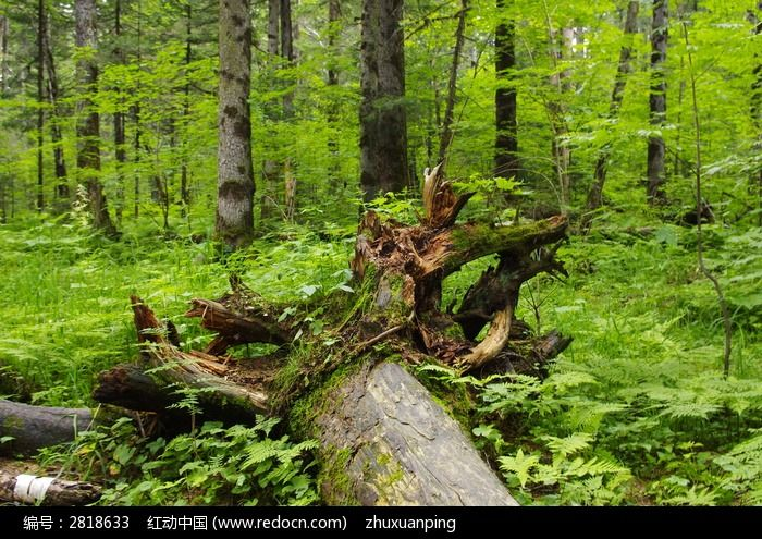 红动网提供森林树林精美高清图片下载,您当前访问图片主题是倒地的树木,编号是2818633, 文件格式是JPG,您下载的是一个压缩包文件,请解压后再使用看图软件打开,色彩模式是,图片像素是4288*2848像素,素材大小 是5.48 MB,如果您喜欢本作品,请使用上方的分享功能,分享给您的朋友,可以给他们的设计工作带来便利。