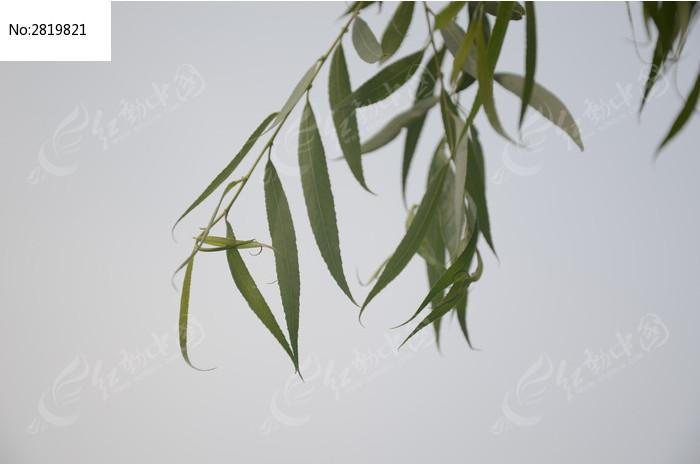 低垂的柳叶图片图片