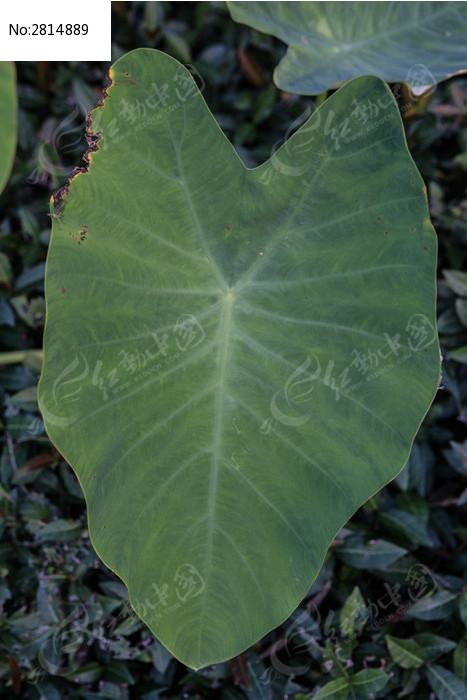 原创摄影图 动物植物 花卉花草 假芋头的叶子正面  请您分享: 红动网