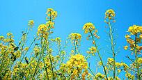 蓝天下的油菜花丛
