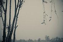 柳树的局部 如同烟雨江南 水墨画一般