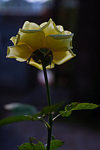逆光拍摄的月季花背面花萼