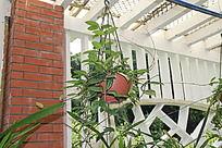棚架上吊着的兰花盆栽