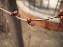 桃花花骨朵