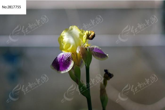 鸢尾花特写图片_动物植物图片