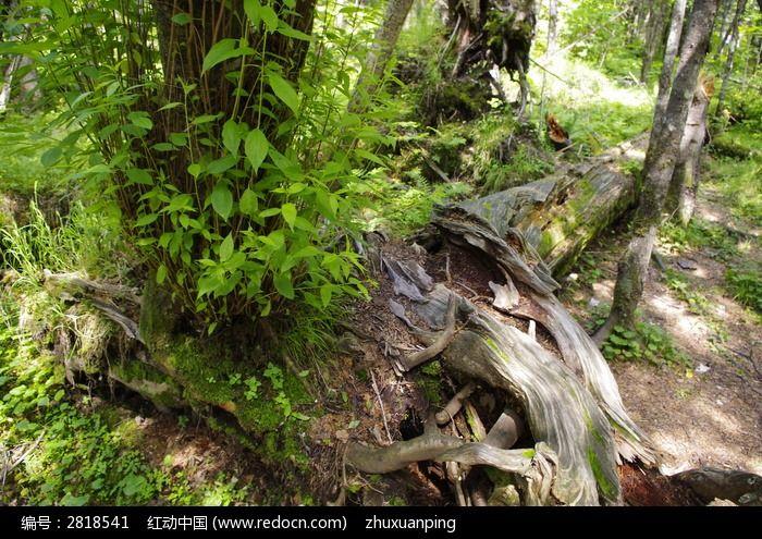 原始森林树木图片,高清大图_森林树林素材