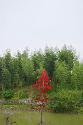 长在水中的红绿叶