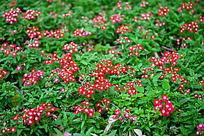 开在绿草地中的红色小花