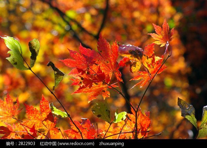 美丽的枫叶图片,高清大图_森林树林素材图片