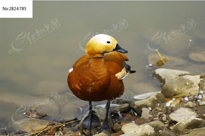 水边的赤麻鸭图片_动物植物图片