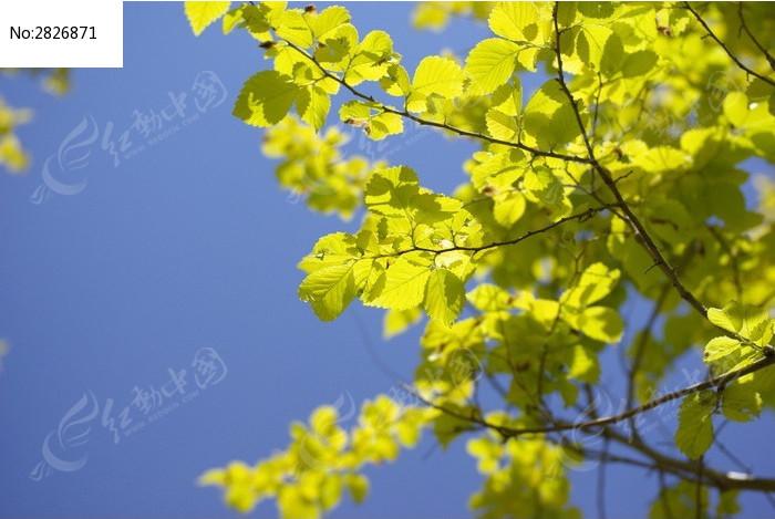 素材描述:红动网提供森林树林精美高清图片下载,您当前访问图片主题是树枝上叶片,编号是2826871, 文件格式是JPG,您下载的是一个压缩包文件,请解压后再使用看图软件打开,色彩模式是,图片像素是3872*2592像素,素材大小 是2.26 MB。