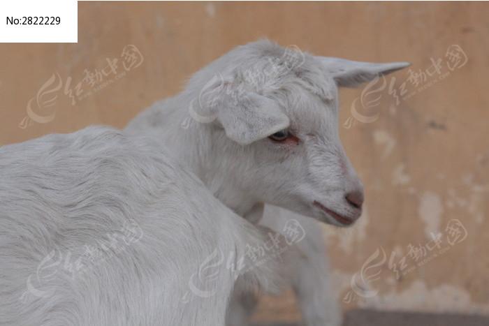 原创摄影图 动物植物 陆地动物 小羊  请您分享: 红动网提供陆地动物