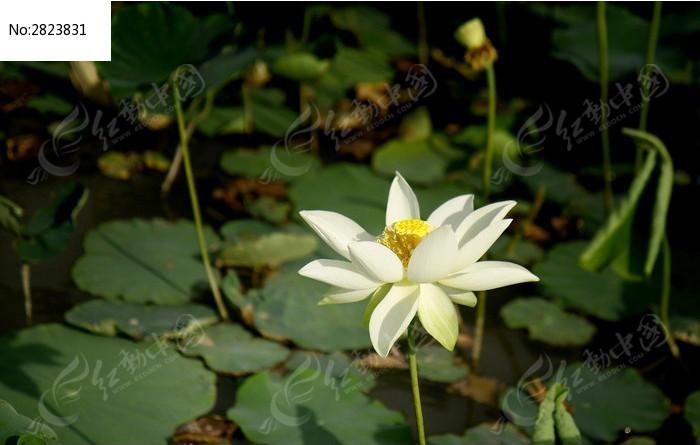 一朵盛开的白芙蓉图片