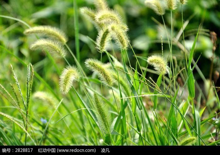 原创摄影图 动物植物 花卉花草 狗尾巴草