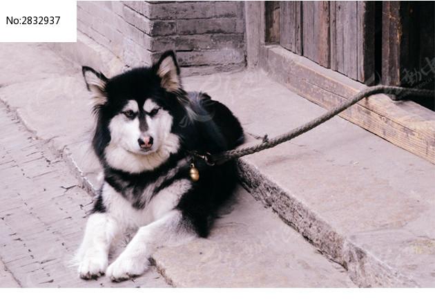 黑白大狗图片,高清大图_陆地动物素材