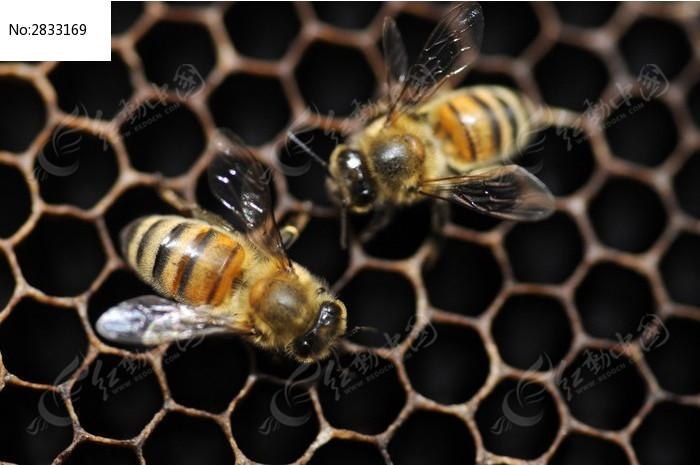 原创摄影图 动物植物 昆虫世界 蜜蜂和蜂巢  请您分享: 素材描述:红动
