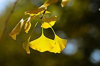 逆光下的黄色银杏叶