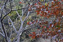 秋景 柿树红叶